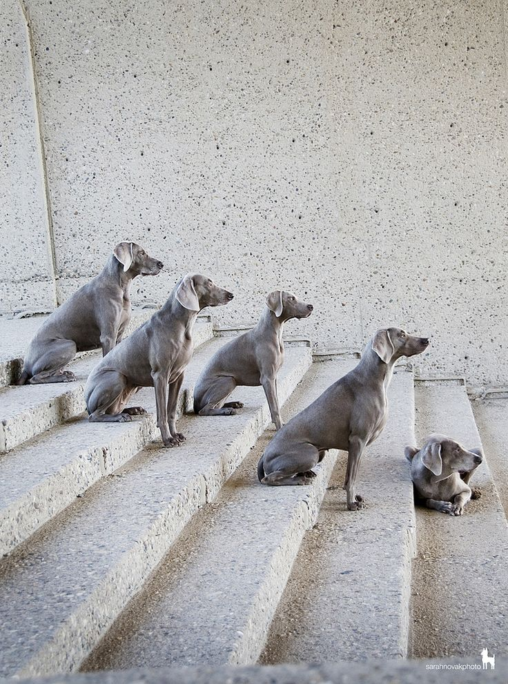 via tumblrPuppies, Weimaraner, Stairs, Dogs, Families Meeting, Weims, Photos Shoots, Animal, Step Up