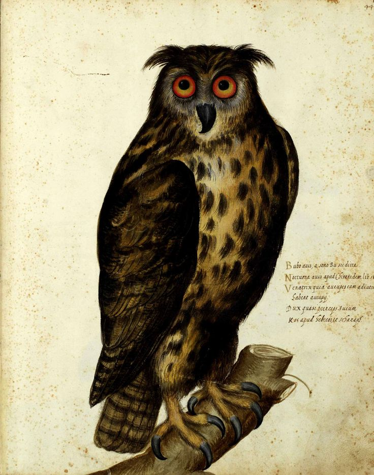 Detail of a watercolour painting of an owl, from a manuscript compiled under the direction of Ulisse Aldrovandi.
