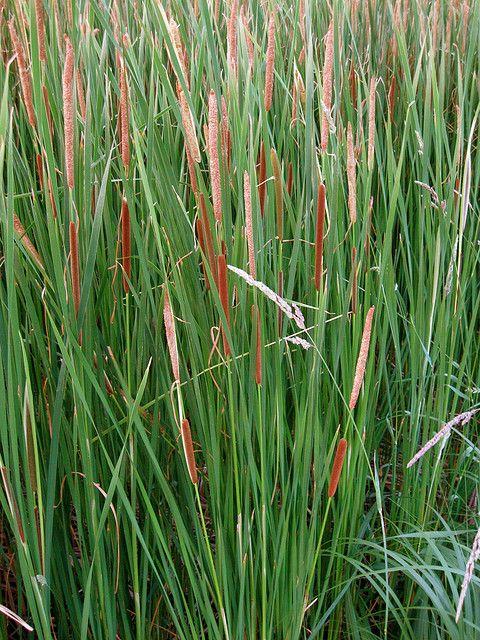 180 best grasses images on pinterest plant for Ornamental pond plants