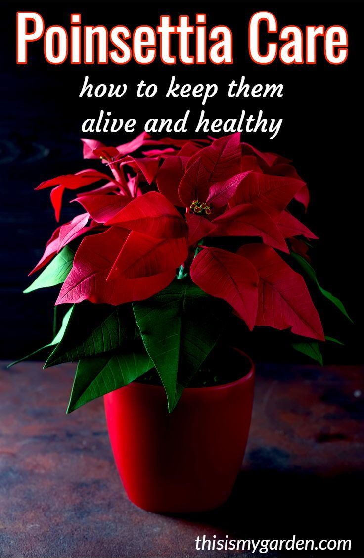How To Care For Poinsettia Plants Before During And After Christmas Poinsettia Plants Christmas Water Poinsettia Care Poinsettia Plant Christmas Plants
