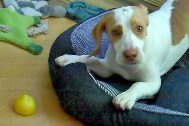 Lemon Beagle Puppy vs. Lemon : Cute Dog Maymo, the lemon beagle