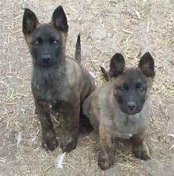 Blue Dutch Shepherd | The dog in world: Dutch Partridge Dogs information