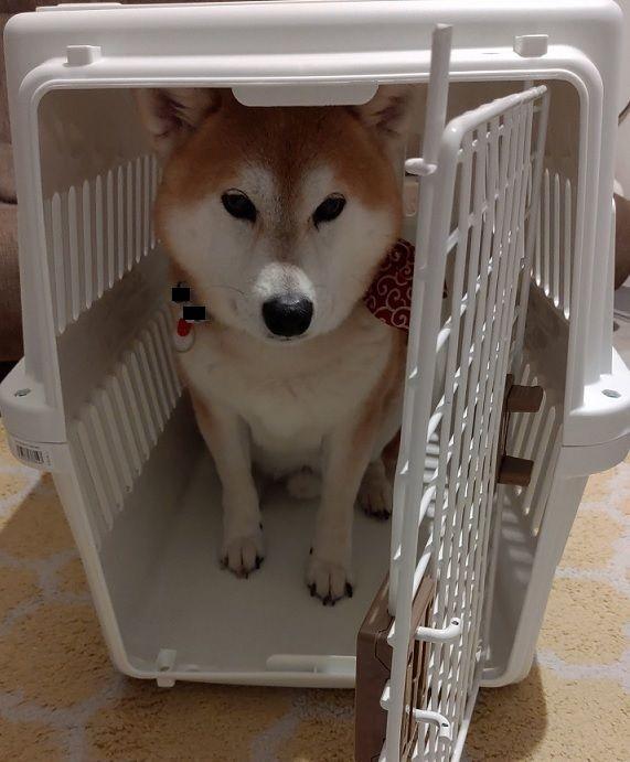 アイリスオーヤマ エアトラベルキャリーレビュー 車で犬を運ぶのに役立ちます 柴犬 柴犬 グッズ 犬 トラベル