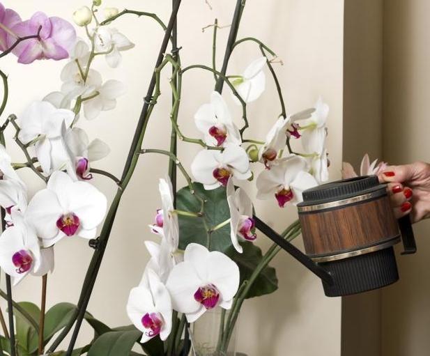Comment Arroser Une Orchidee Jardinier Paresseux Comment