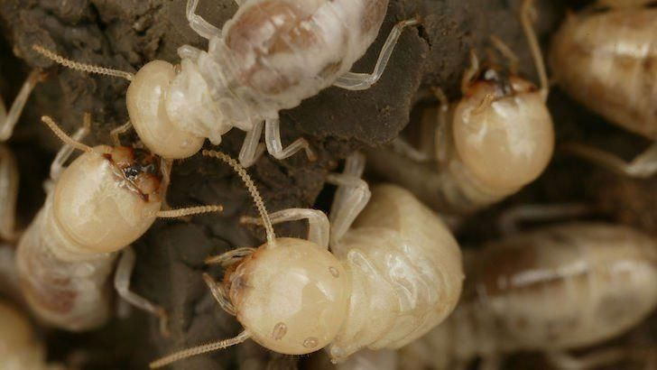Termites Are Incredible Insects All Of The Following Facts About Termites Are True Except One Which Is Not A Tru Termite Control Termite Treatment Termites