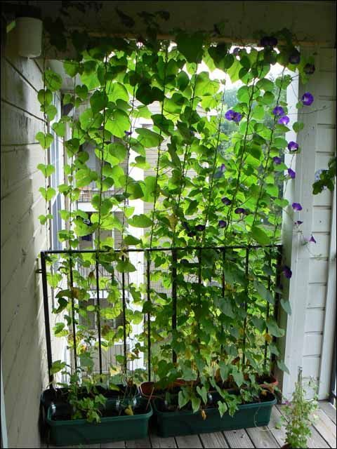 Morning Glories planted in containers, then grown up a string trellis for a living privacy fence!