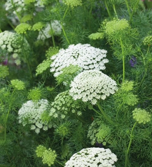 133 best cutting gardens perennials and just flowers images on ammi visnaga flower plantsgarden mightylinksfo