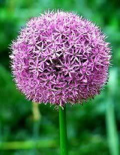 16 Top Alliums for Your Garden