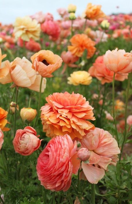 Coral floral floralOrange Flower, Spring Colors, Beautiful Flowers, Gardens, Pretty Flowers, Colors Schemes, Poppies, Flower Fields, Peaches