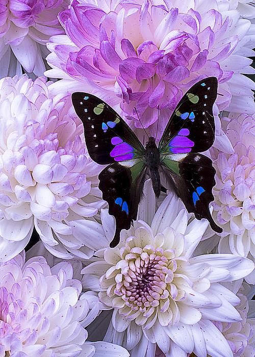 Black and purple butterfly on mums - by Garry Gay