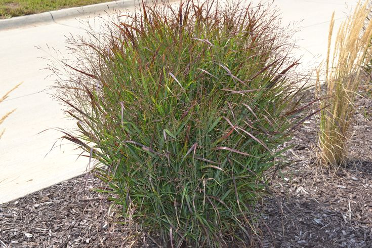 17 best images about perrenials for north texas for Tall red grass