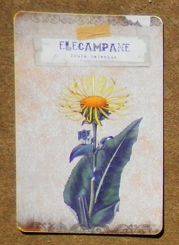 Elecampane, also called Elfwort, Elfdock & Wild Sunflower.  It is a favorite plant of the elves & can be used to attract fae.  It symbolizes the sun when in the middle of a bouquet.  Druids used it for initiation rituals  & baby blessings.  Chewing the root is thought to ward off noxious vapors from bogs, pollution & other stenches & is known to help relieve bronchial symptoms. Elecampane can also be used to break a fairy spell.  It is said to have sprung up from the tears of Helen of Troy.