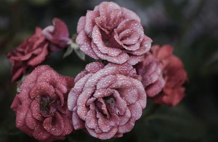 Foto Bunga Warna Hitam 50 Gambar Bunga Mawar Tercantik Di Dunia Warna Putih Ungu Pink Bunga Mawar H Beautiful Rose Flowers Pink Rose Flower Beautiful Roses