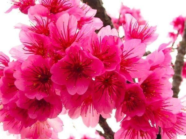 Japanese Dark Pink Sakura 5 Seeds Japanese Dark Pink Sakura 5 Seeds Emer Dark Emer Japanese Pink Cherry Blossom Flowers Beautiful Flowers Flowers