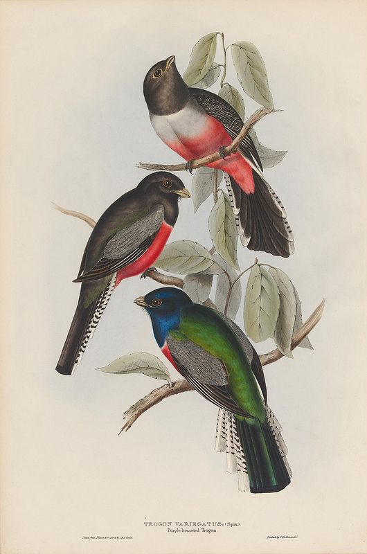 nature studyBirds Prints, Trogon Birds, Nature Science, 1830S, Birds Species, Art Image, Nature History, Bibliodessey Trogon, Animal