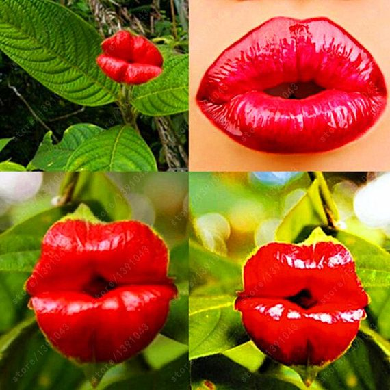 Red Lips Flower Seeds Rare Flower Pots Psychotria Elata Flower