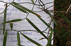 Bush Tucker Plant Foods - Geitonoplesium cymosum - Scrambling Lily