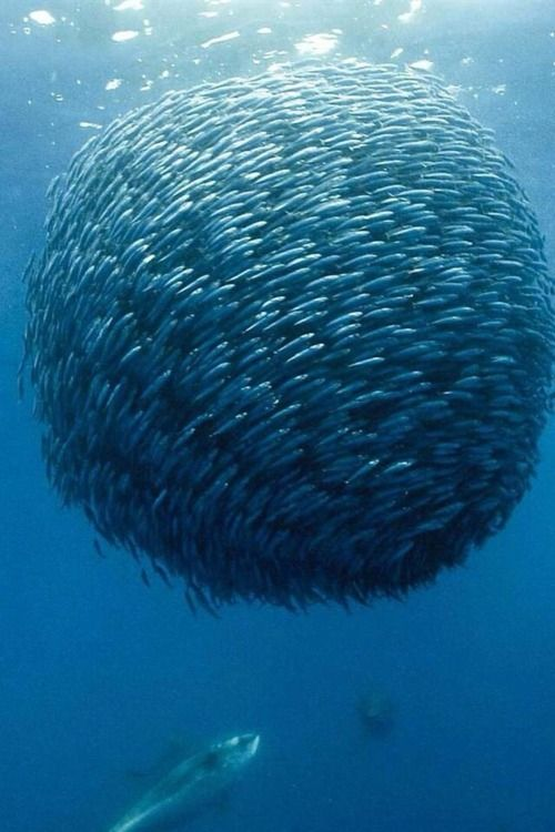 A bait ball, or baitball, occurs when small fish swarm in a tightly packed spherical formation about a common centre. It is a last-ditch defensive measure adopted by small schooling fish when they are threatened by predators. Small schooling fish are eaten by many types of predators, and for this reason they are called bait fish or forage fish.