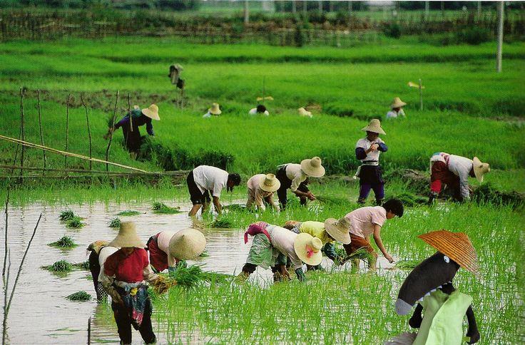 rizière -Chine
