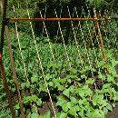 Sembrar judías verdes en el huerto ecológico ecoagricultor.com
