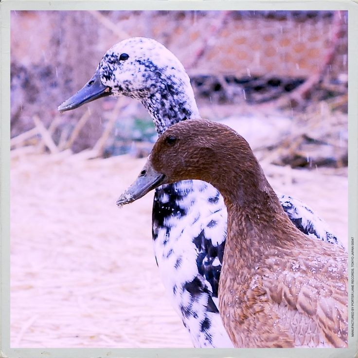 Keeping Pet Ducks, Part I: Imprinting, Ethical Duck Keeping and Ducklings