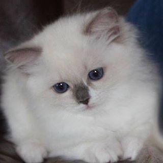 Coco. Ragdoll kitten