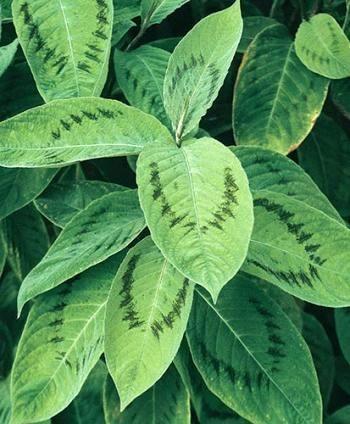 Persicaria Brushstrokes,buy Fleece Flower for sale,New Plant-Plant Delights Nursery, Inc.