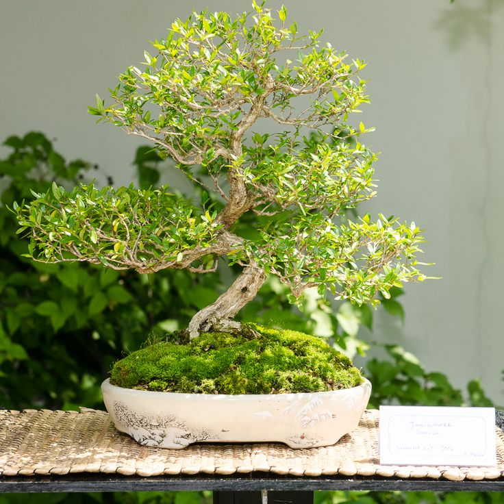 junischnee serissa foetida als bonsai baum bonsai. Black Bedroom Furniture Sets. Home Design Ideas