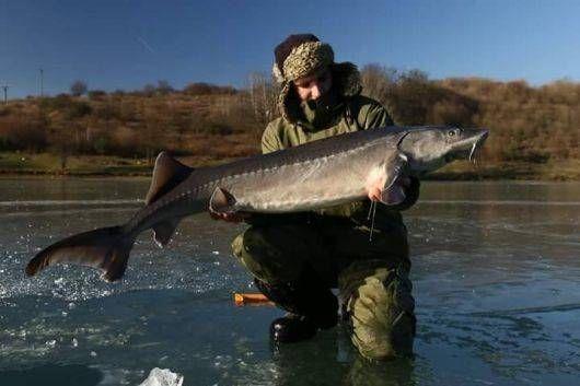 Lov jeseterov na dierkach - aj tejto téme sa budeme venovať v relácii Rybárska televízia s premiérou 20. januára 2017. Sledujte nás, zdieľajte - sme tu pre vás! Archív relácií nájdete na: http://www.sports.sk/rybarska_televizia.xhtml