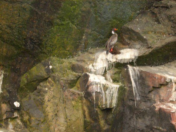 Cormorán - (especie en extinción) Habita en la Reserva Nacional Pingüinos de Humboldt Chile (photo taken by my)