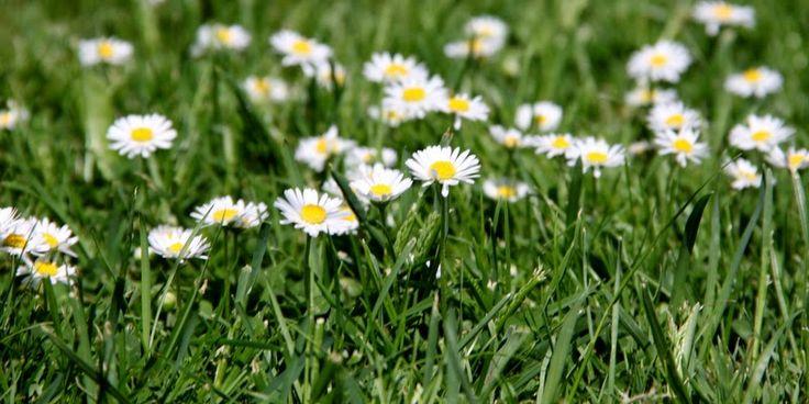 GRÆS ELLER MOS? - A mossy grasslawn?