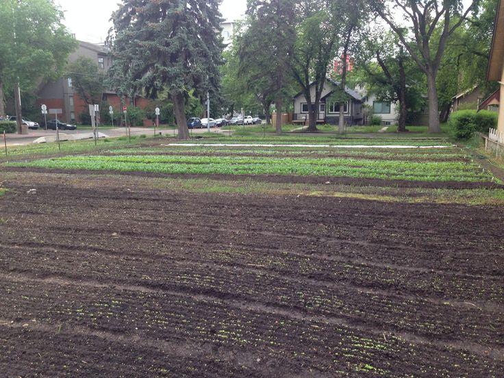 Lactuca and Reclaim Urban Farm bring urban farming to Edmonton, by Vivian Binnema | The Local Good | #yegfood #urbanag | Photo courtesy of Reclaim Urban Farm