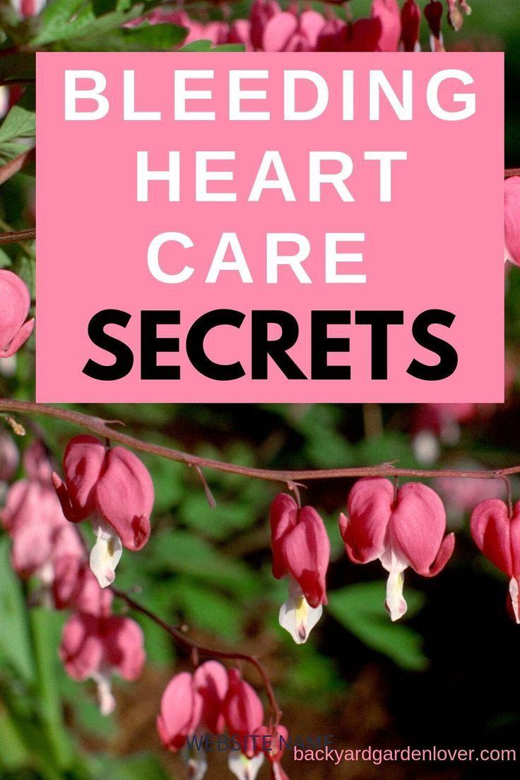 Bleeding Heart Plant Care Secrets You Should Know Bleeding Heart Plant Bleeding Heart Plant Care