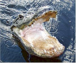See Florida Alligators Up Close With Our Guide And Map Of Everglades Airboat Tours Located Just Southeast Of Naples Florida In Everglades City