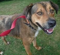 Meet EUTH ALERT- BRUNO IN RURAL SHELTER WEST VIRGINIA, a Petfinder adoptable Shepherd Dog | Downingtown, PA | 4058- Bruno a 3yr old male hound mixIF YOU ARE SERIOUS ABOUT ADOPTION PLEASE EMAIL ME FOR DETAILS-...