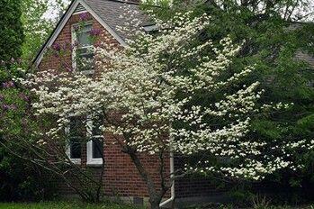May bloomer: Pagoda Dogwood - Cornus alternifolia (shade)