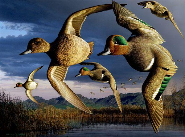 Google Image Result for http://www.dfg.ca.gov/duckstamp/stamps/images/1998-green-wing-teal-robert-steiner.jpg