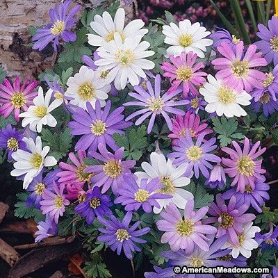 Daisy-shaped flowers in jewel colors bloom atop ferny foliage on this world-famous wildflower native to Greece. (Anemone blanda)