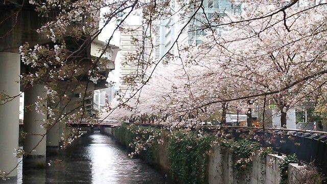 桜 三崎橋
