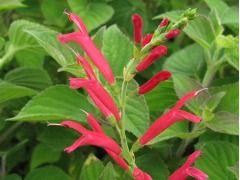 """Salvia elegans """" Mello """" - šalvěj sličná """"melounová"""""""