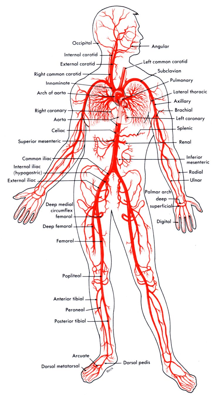 Arteries And Veins Of The Body