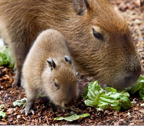 Capybara- world's largest rodent, they have great personalities but can inflict one he** of a bite!