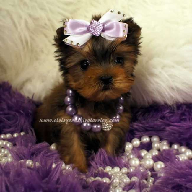 teacup terrier best 25 yorkshire terriers ideas on pinterest yorkshire 8704