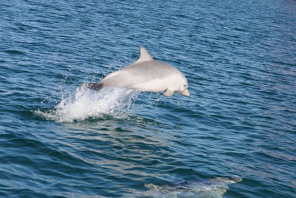 A dolphin calf leaping from the water in Perth's Swan River