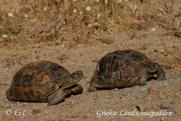 Wild tortoises on Lesbos, Greece.