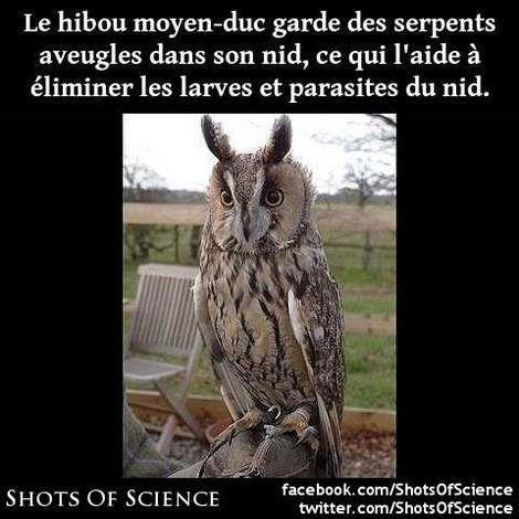 #hibou #moyen-duc #nid #serpents Le hibou moyen-duc garde des serpents aveugles dans son nid ce qui laide à éliminer les larves et parasites du nid.