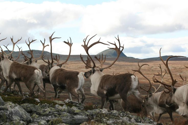 Reindeer - Ringebu, Norway https://www.inatur.no/storviltjakt/50e58b2be4b053634ccc83d8/villreinjakt-ringebu-fjellstyre | Inatur.no