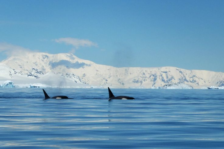Whale watching in Orne harbour, Antarctica - Latinamerikaliv