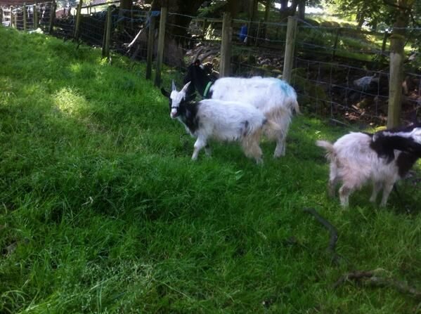Twitter Rare Breed Goats