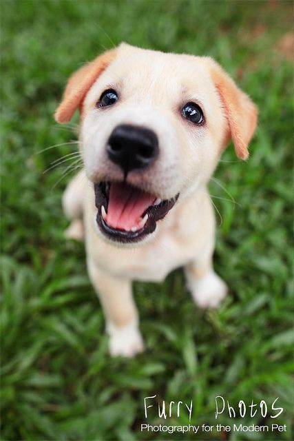 Yellow Lab Puppy.  So cute!